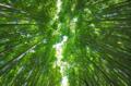 京都新聞写真コンテスト 竹林を仰ぐ