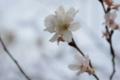 [兼六園][花]冬桜