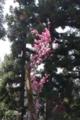 [花]錫杖の梅