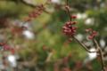 [花][兼六園]摩耶紅