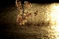 [花]桜と川