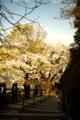 [花][空][階段]桜
