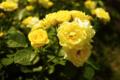 [花]ゴールデン ボーダー