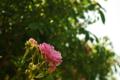 [花]ツル サマー スノー