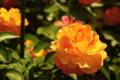 [花]スーブニール ドゥ アンネ フランク