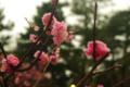 [兼六園][花]梅