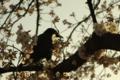 [花]桜とカラス