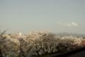 [空][花]桜