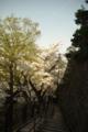 [階段][花]桜