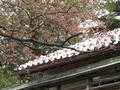 [花][雪]桜