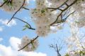 [花]桜(たぶん)
