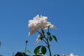 [花][空]薔薇
