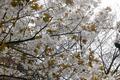 [花]松月寺桜