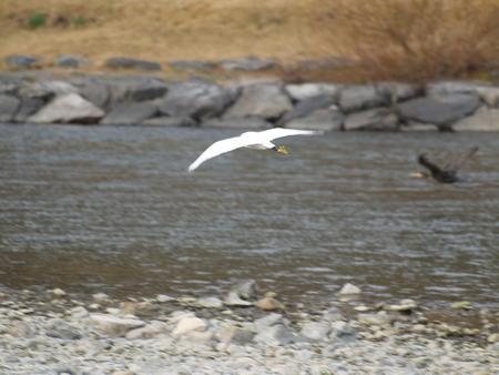 錦帯橋の鳥1