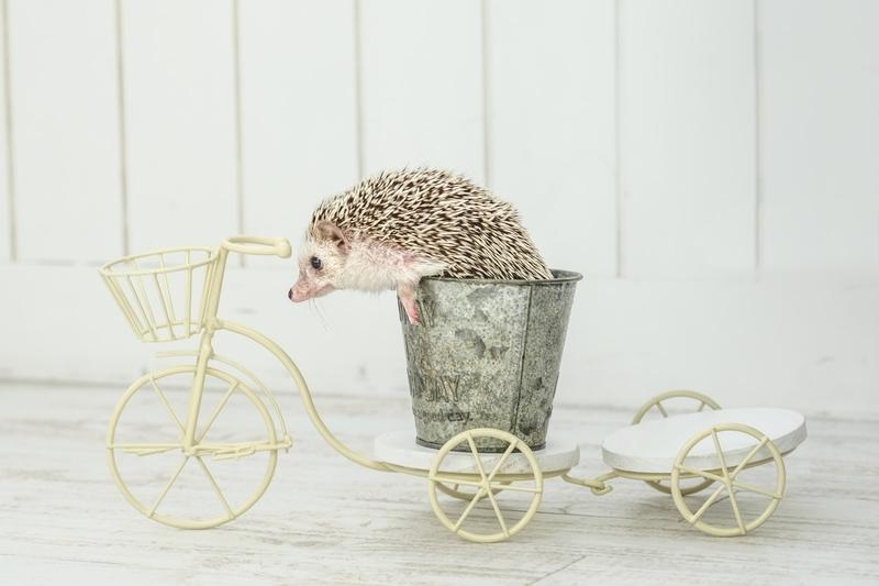 自転車に乗っているハリネズミ
