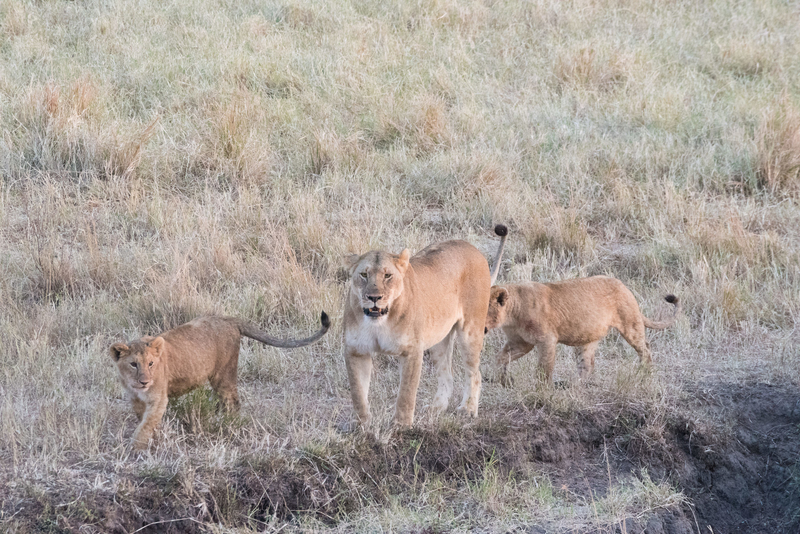 ライオンの親子が歩いている