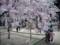 天寧寺のしだれ桜
