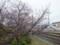 金光の桜はまだつぼみ