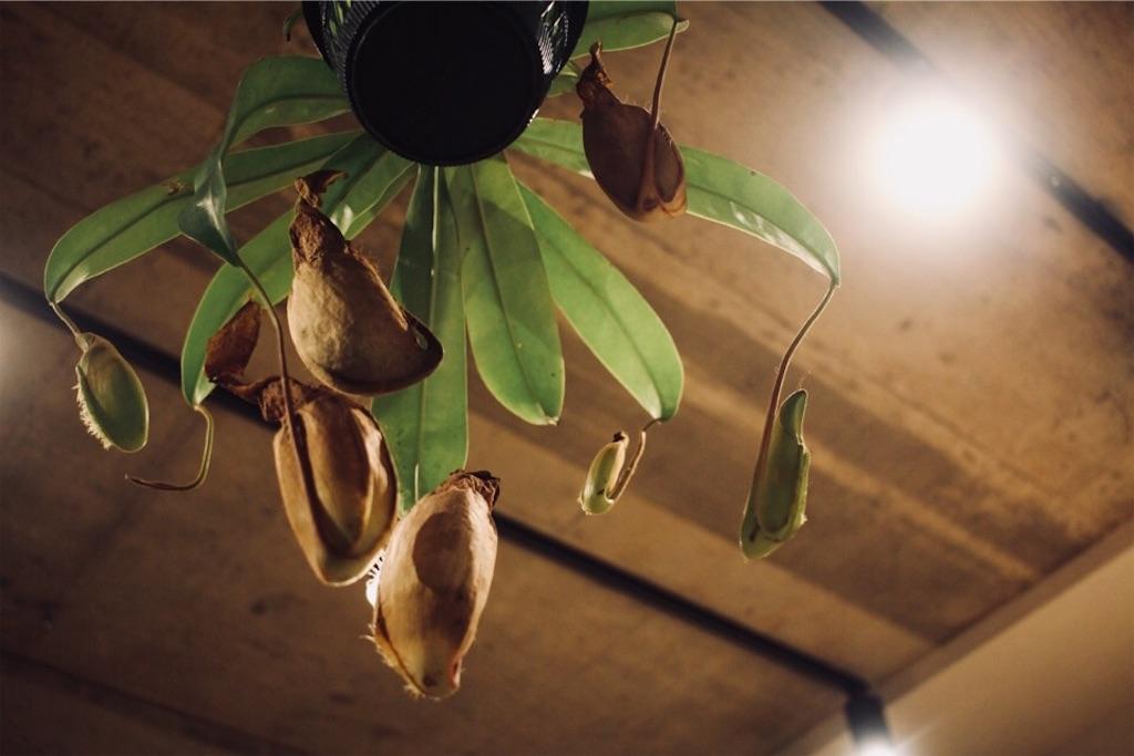 食虫植物ウツボカズラ(ネペンテス)