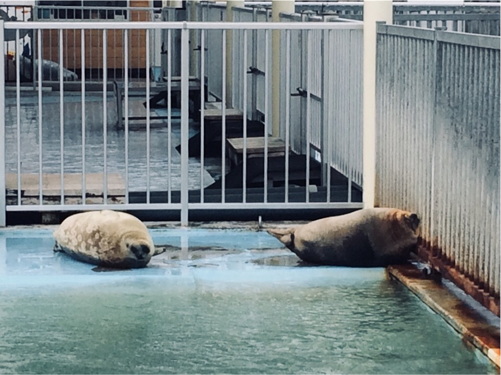オホーツクとっかりセンターで保護されているアザラシ