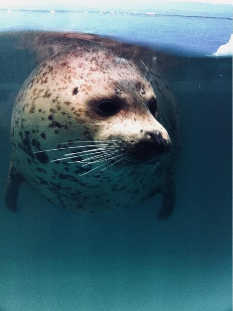 サンシャイン水族館のアザラシ