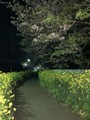 [自転車]三崎夜桜見物