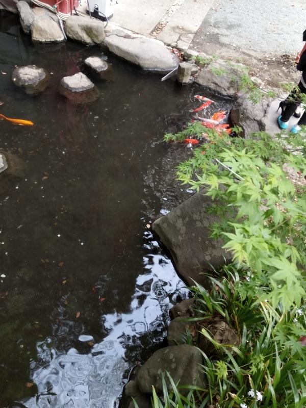 来宮神社の池の鯉