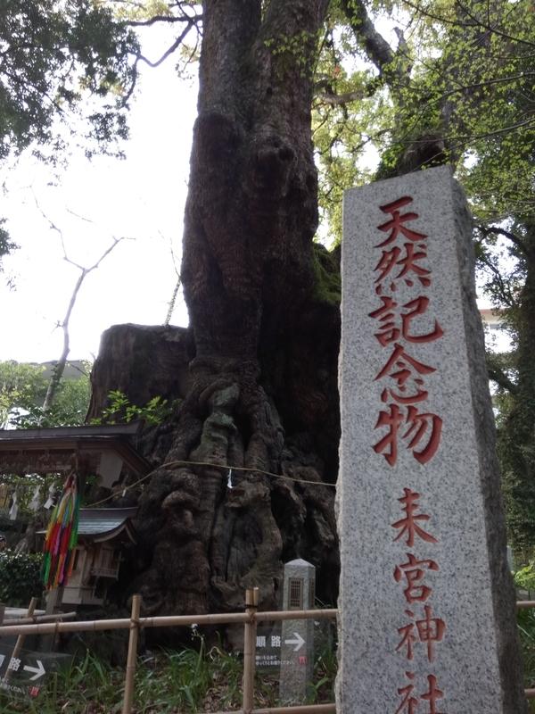 来宮神社、天然記念物の大楠