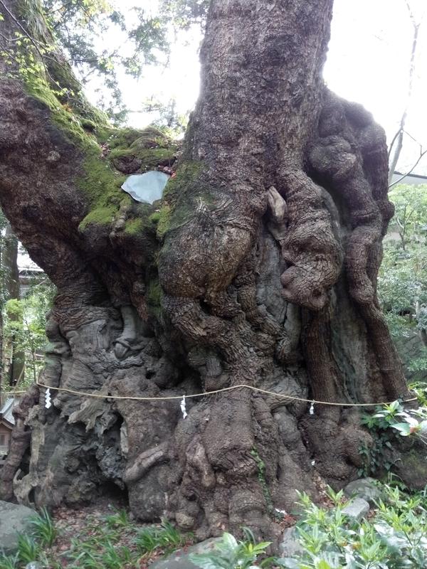 巨大な大楠