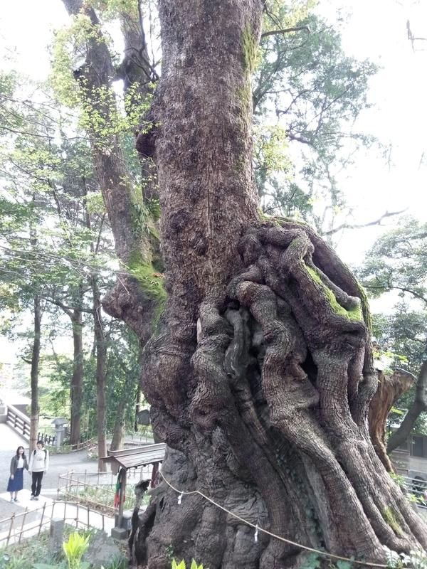 大楠を見上げる
