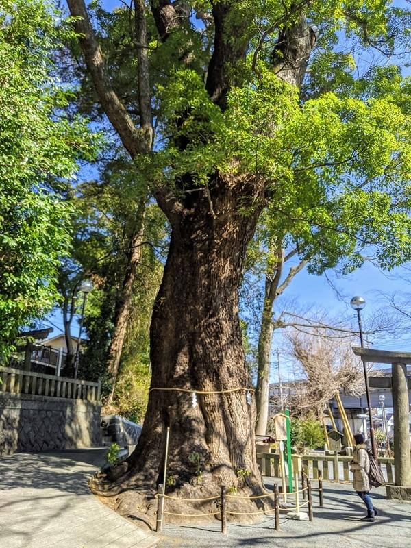 五所神社の楠