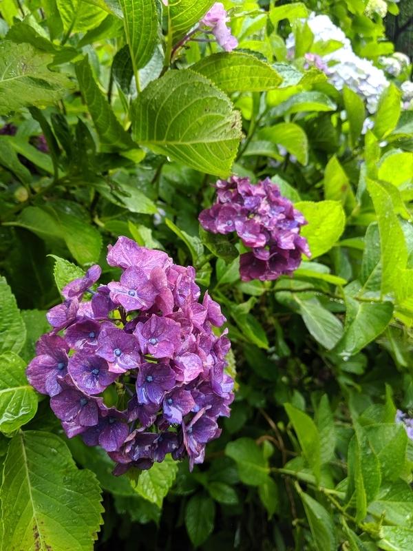 円覚寺の紫色の紫陽花