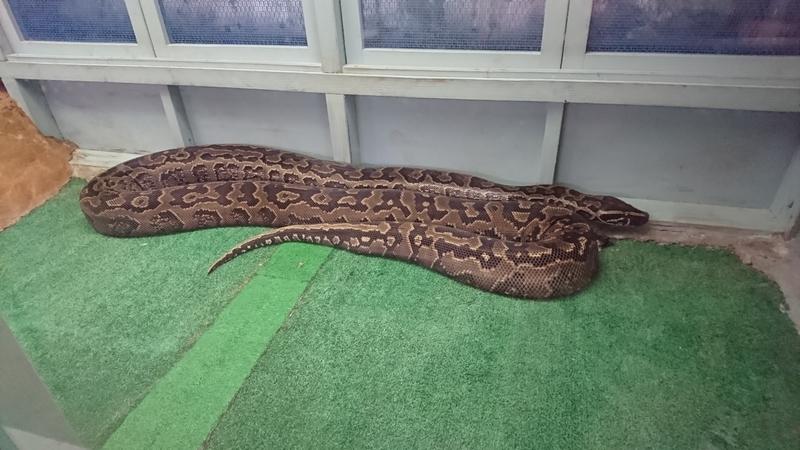 草津熱帯園のアフリカニシキヘビ