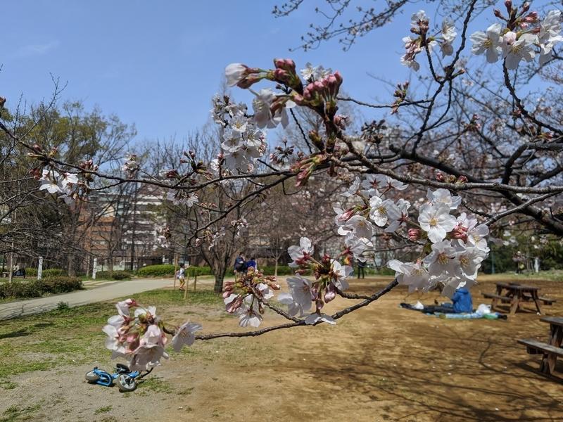 浜町公園の桜2