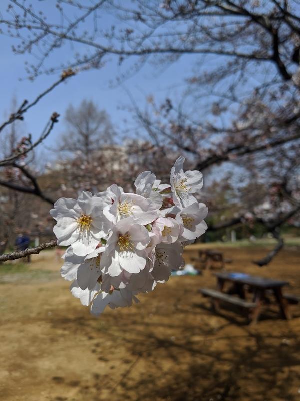 浜町公園の桜3