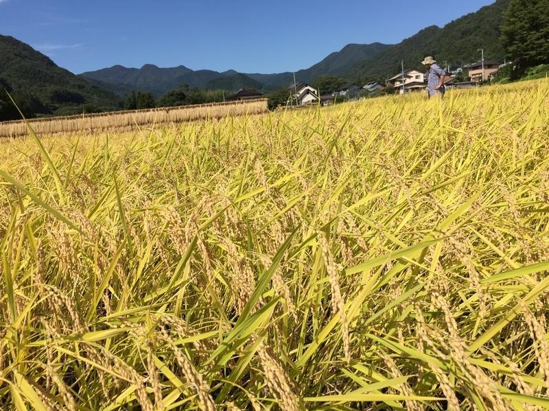 頭を垂れる稲