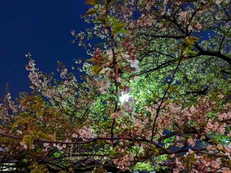 隅田川沿いの桜
