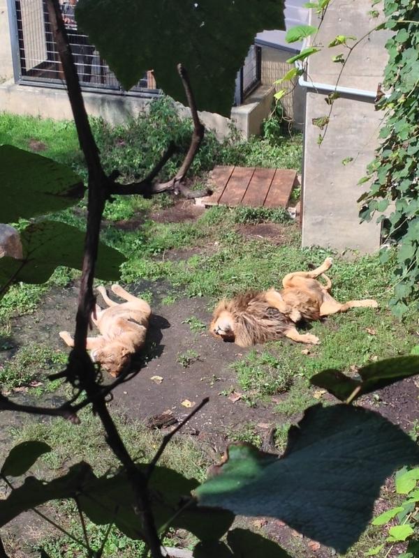 旭山動物園、やる気のないライオン