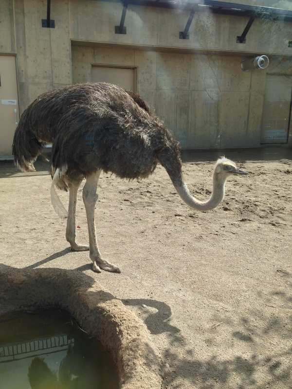 旭山動物園のダチョウ