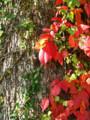 [紅葉]樹のキャンバス2