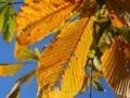 [紅葉]黄葉の向こう