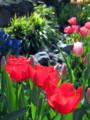 [花]チューリップ3