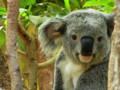 [動物]コアラ