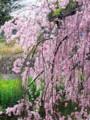 [花][桜]しだれ桜