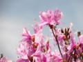 [花]ミツバツツジ
