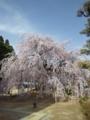 麻績の里舞台桜20130404_04