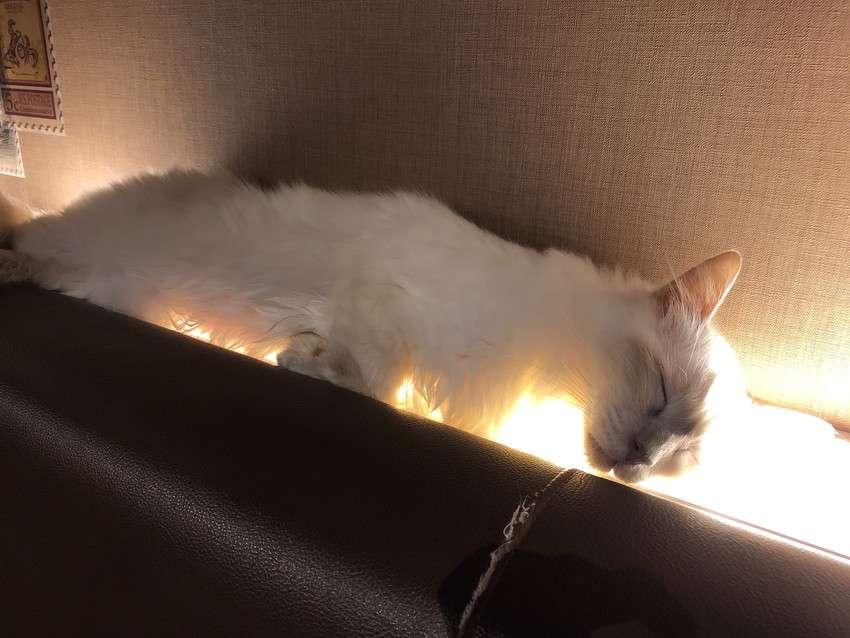 きゃりこ新宿店の猫16