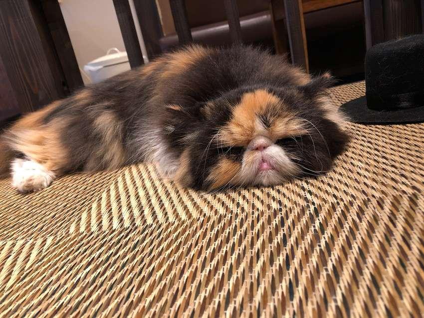 きゃりこ新宿店の猫18
