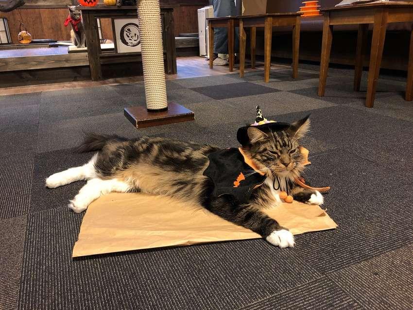 きゃりこ新宿店のハロウィンコスチュームの猫