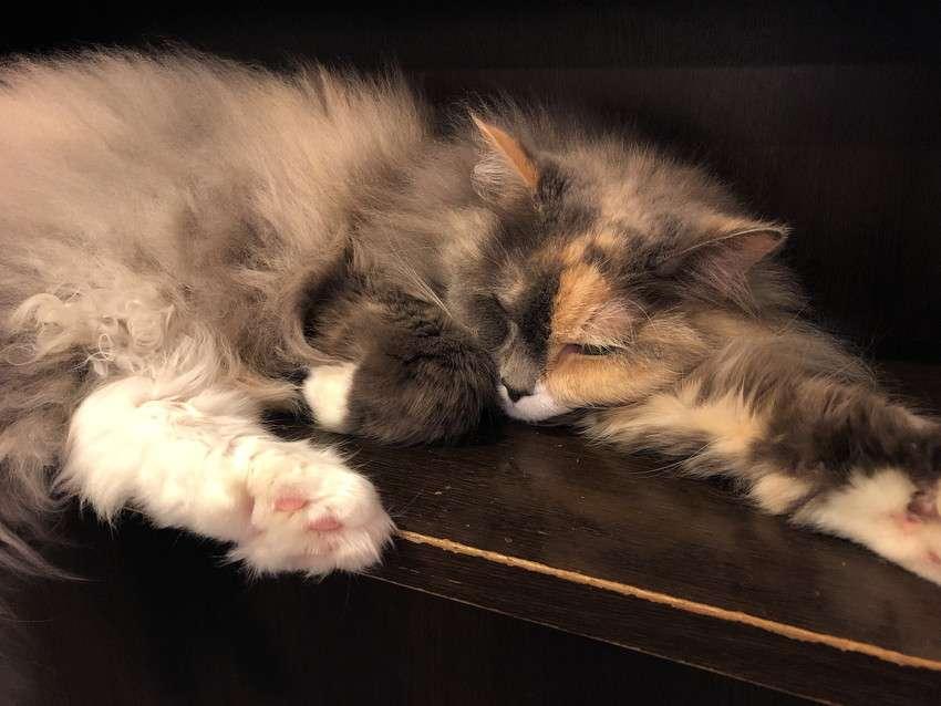 きゃりこ新宿店の猫3